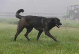 Hund läuft auf einer Wiese