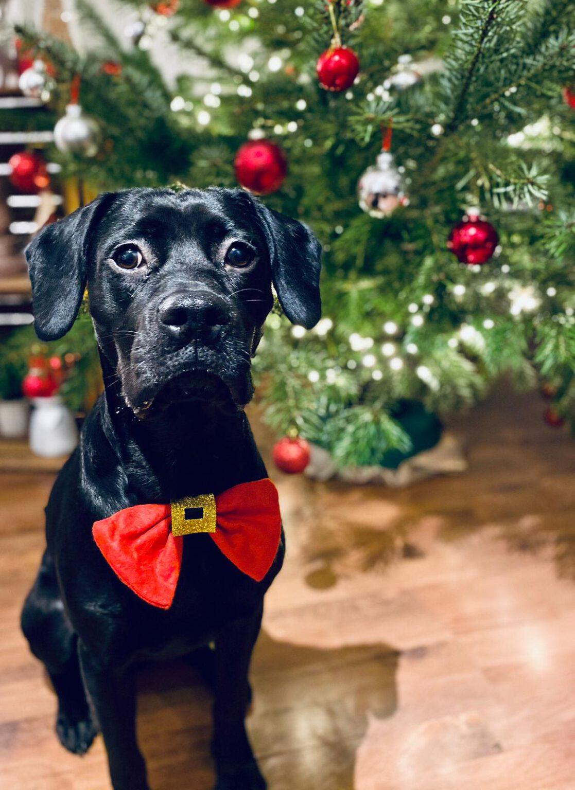 Hund mit roter Schleife als Weihnachtsgeschenk unterm Weihnachtsbaum