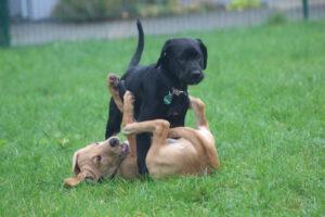 Zwei Hundewelpen im Spiel beim Welpenkurs der Hundeschule Body Talk in Oberhausen, Hattingen und Sprockhövel